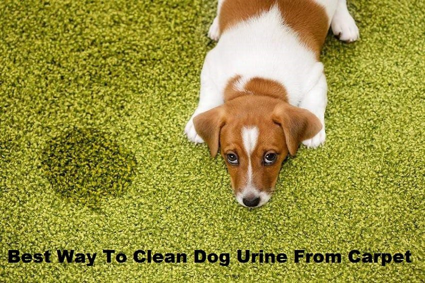 Best Way To Clean Dog Urine From Carpet